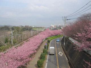 桜祭り.jpg